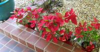 LITTLE POINSETTIAS
