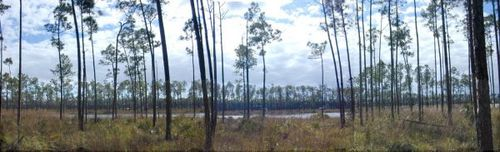 Pineforestpanoramic_1